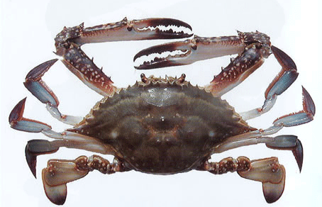 شراء Swimming Crab