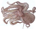 شراء Octopus