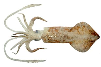 شراء Squid