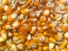 Yellow corn for animal
